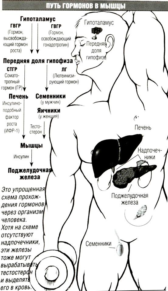 virabotka-gormonov-pri-sekse